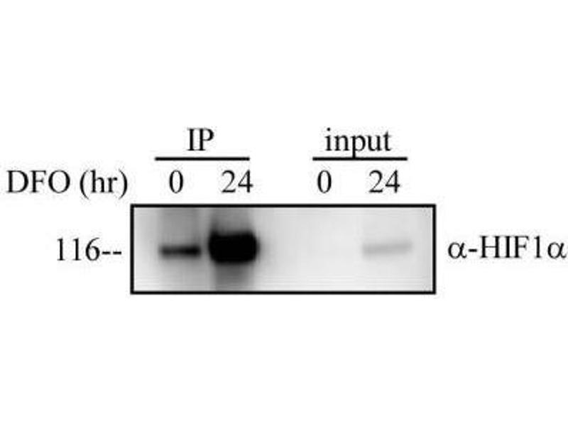 Immunoprecipitation (IP) image for anti-Hypoxia Inducible Factor 1, alpha Subunit (Basic Helix-Loop-Helix Transcription Factor) (HIF1A) (C-Term) antibody (ABIN151900)