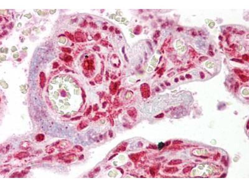 anti-STRAP antibody (AA 101-150) | Product No  ABIN6748610