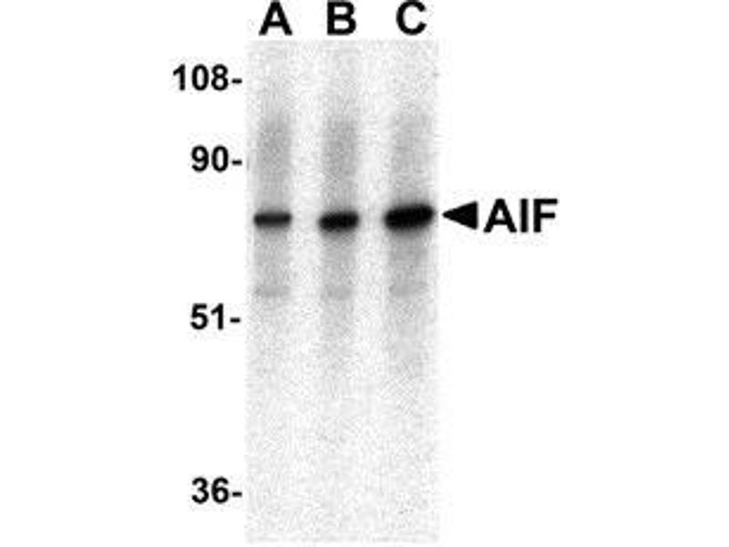 Western Blotting (WB) image for anti-AIFM1 antibody (Apoptosis-Inducing Factor, Mitochondrion-Associated, 1) (AA 593-606) (ABIN499239)