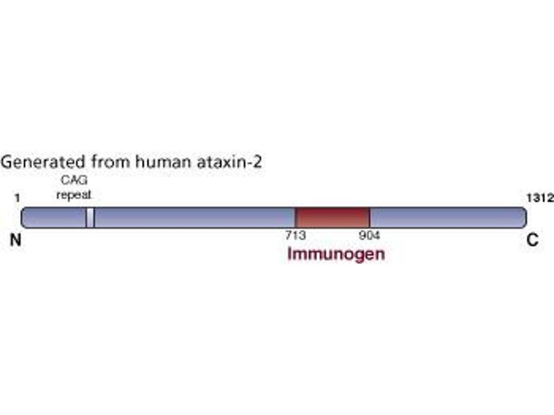 image for anti-Ataxin 2 antibody (ATXN2) (AA 713-904) (ABIN968504)