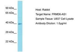 Image no. 1 for anti-FERM Domain Containing 6 (FRMD6) (AA 276-325) antibody (ABIN6750759)