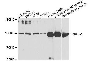 Image no. 1 for anti-phosphodiesterase 5A, cGMP-Specific (PDE5A) antibody (ABIN6145359)
