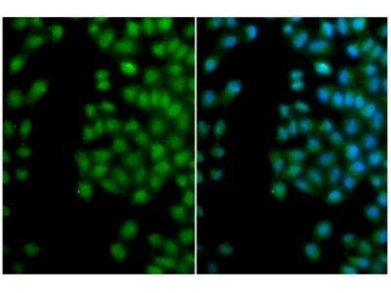Immunofluorescence (IF) image for anti-SFRP2 antibody (Secreted Frizzled-Related Protein 2) (ABIN4353136)