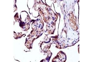Image no. 1 for anti-Neural Precursor Cell Expressed, Developmentally Down-Regulated 9 (NEDD9) (AA 335-363) antibody (ABIN3031968)