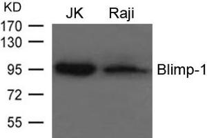Image no. 2 for anti-PR Domain Containing 1, with ZNF Domain (PRDM1) (AA 124-128) antibody (ABIN6267770)