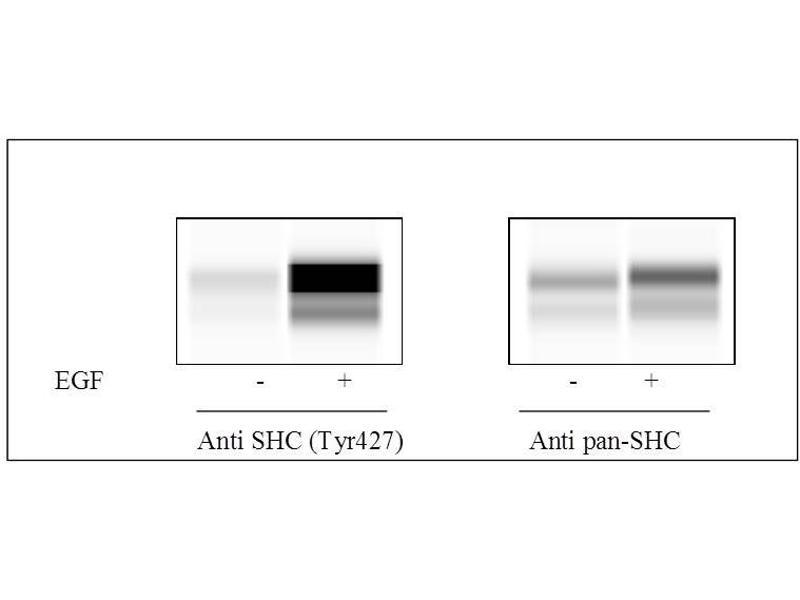 SHC (Src Homology 2 Domain Containing) Transforming Protein 1 (SHC1) ELISA Kit (3)