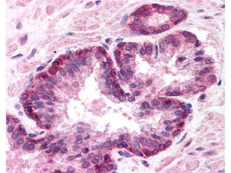Immunohistochemistry (IHC) image for anti-Lamin A/C (LMNA) (AA 249-266) antibody (ABIN218314)