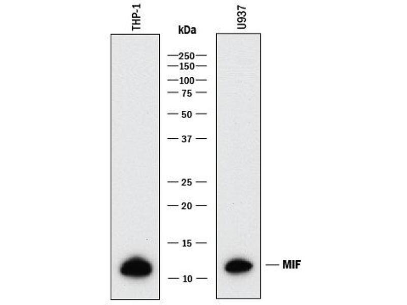 Western Blotting (WB) image for anti-Macrophage Migration Inhibitory Factor (Glycosylation-Inhibiting Factor) (MIF) (AA 2-115) antibody (ABIN4899419)