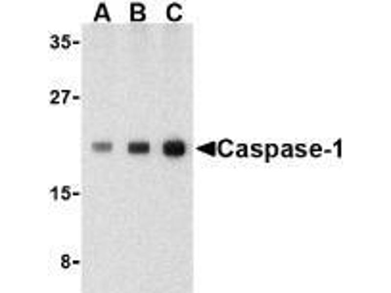 Western Blotting (WB) image for anti-Caspase 1 (CASP1) (C-Term) antibody (ABIN615246)