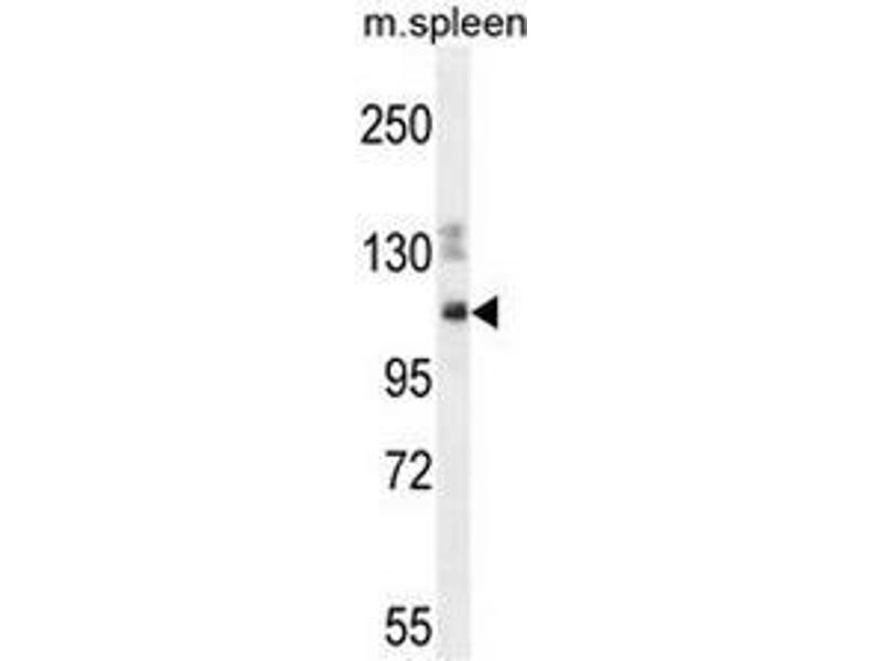 Western Blot (WB) image for anti-Nesprin3 Antikörper (Chromosome 14 Open Reading Frame 49) (AA 855-884) (ABIN953651)