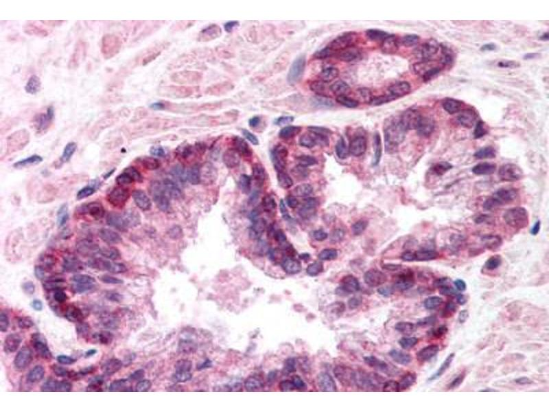 Immunohistochemistry (Paraffin-embedded Sections) (IHC (p)) image for anti-Lamin A/C (LMNA) (AA 249-266) antibody (ABIN218314)