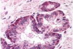 Immunohistochemistry (Paraffin-embedded Sections) (IHC (p)) image for anti-Lamin A/C antibody (LMNA) (AA 249-266) (ABIN218314)