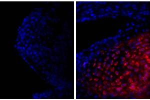 Image no. 1 for anti-Collagen, Type II (COL2) antibody (ABIN135048)