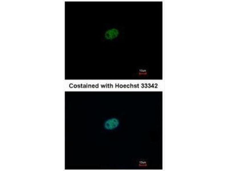 Immunofluorescence (IF) image for anti-Replication Factor C (Activator 1) 2, 40kDa (RFC2) (Center) antibody (ABIN2856035)