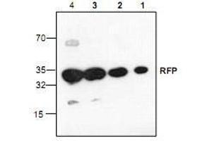 Western Blotting (WB) image for anti-Red Fluorescent Protein (RFP) antibody (ABIN233863)
