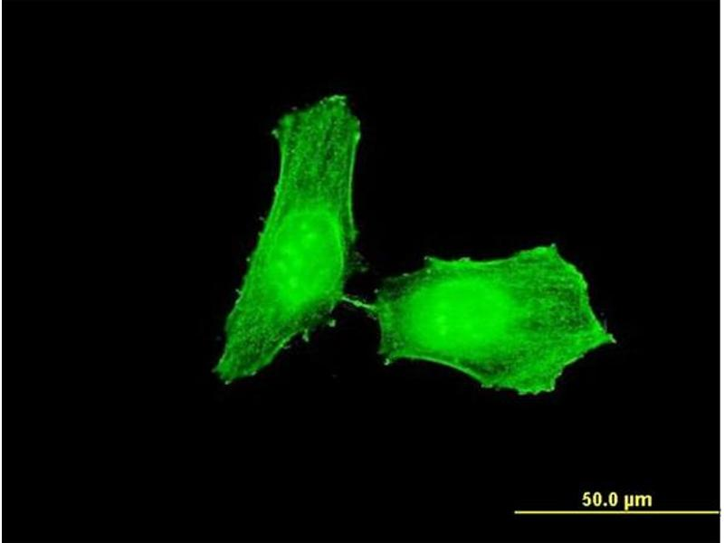 Immunofluorescence (IF) image for anti-CHEK1 antibody (Checkpoint Kinase 1) (AA 361-476) (ABIN514379)