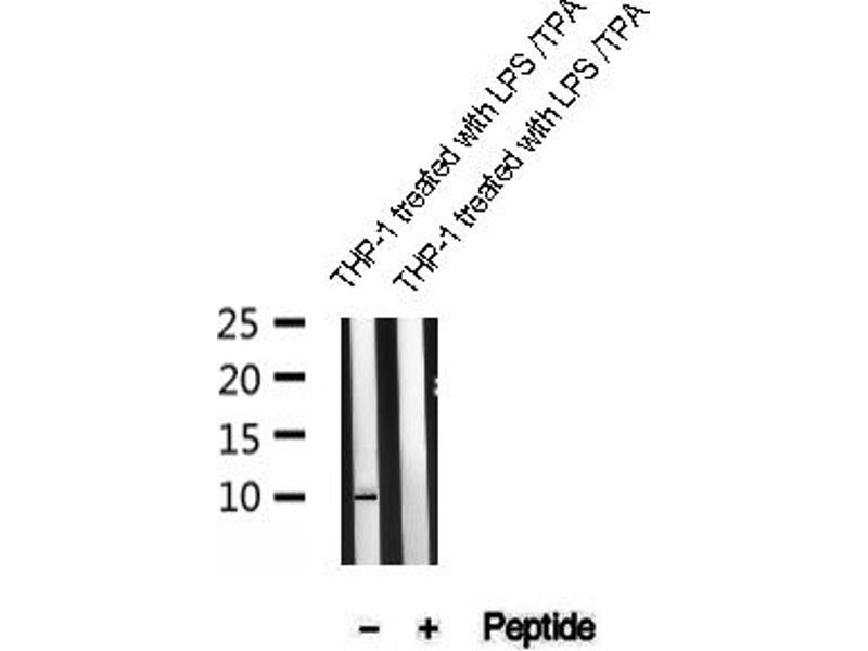 Image no. 1 for anti-Caspase 1 (p10) antibody (ABIN6267728)