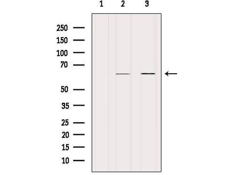 Image no. 1 for anti-Keratin 9 (KRT9) antibody (ABIN6262790)