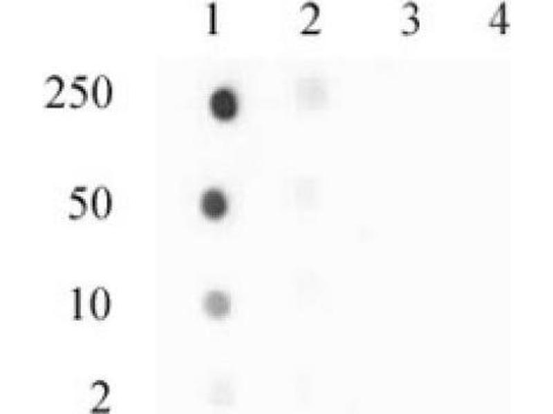 Dot Blot (DB) image for anti-Histone H3.3 (pSer31) antibody (ABIN4889664)