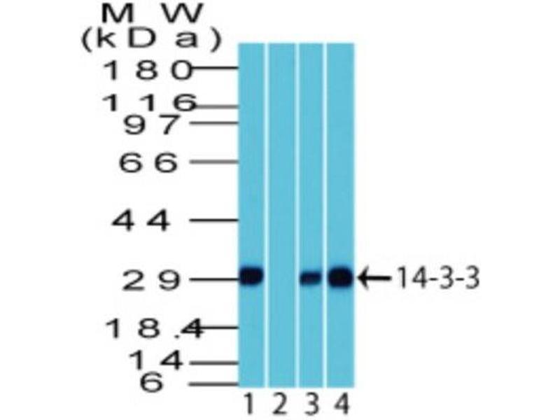 Western Blotting (WB) image for anti-tyrosine 3-Monooxygenase/tryptophan 5-Monooxygenase Activation Protein, theta Polypeptide (YWHAQ) antibody (ABIN4276649)