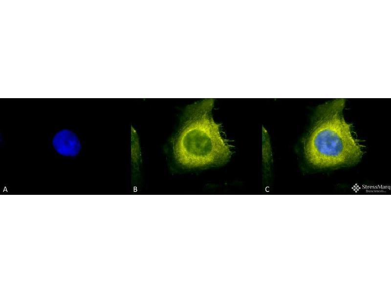 Immunofluorescence (fixed cells) (IF/ICC) image for anti-Cell Division Cycle 37 Homolog (S. Cerevisiae) (CDC37) antibody (ABIN1027727)