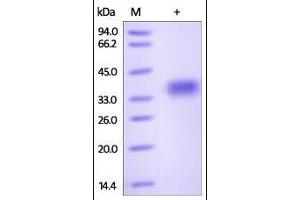 SDS-PAGE (SDS) image for Glycoprotein A33 (Transmembrane) (GPA33) (AA 22-235) (Active) protein (His tag) (ABIN2181181)