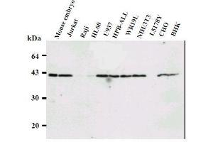 Image no. 2 for anti-Ring Finger Protein 2 (RNF2) antibody (ABIN1449179)