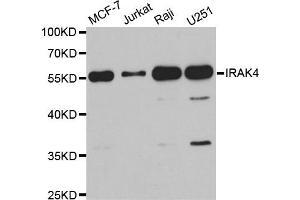 Western Blotting (WB) image for anti-IRAK4 antibody (Interleukin-1 Receptor-Associated Kinase 4) (ABIN1882335)