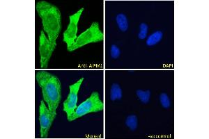 Image no. 2 for anti-Apoptosis-Inducing Factor, Mitochondrion-Associated, 1 (AIFM1) (C-Term) antibody (ABIN2630015)