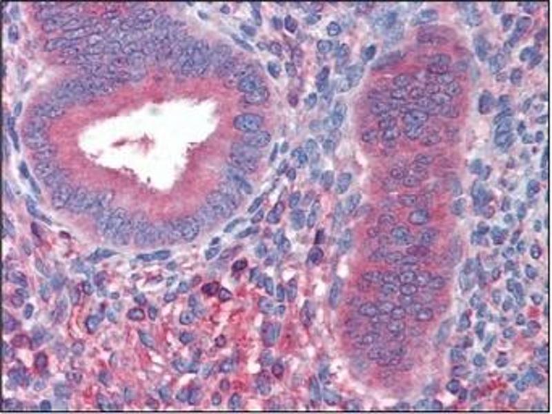 Immunohistochemistry (IHC) image for anti-Fibrinogen beta Chain (FGB) (AA 30-300), (Chain beta) antibody (ABIN614393)
