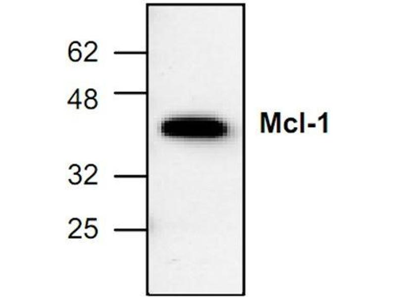 Western Blotting (WB) image for anti-Induced Myeloid Leukemia Cell Differentiation Protein Mcl-1 (MCL1) antibody (ABIN285856)