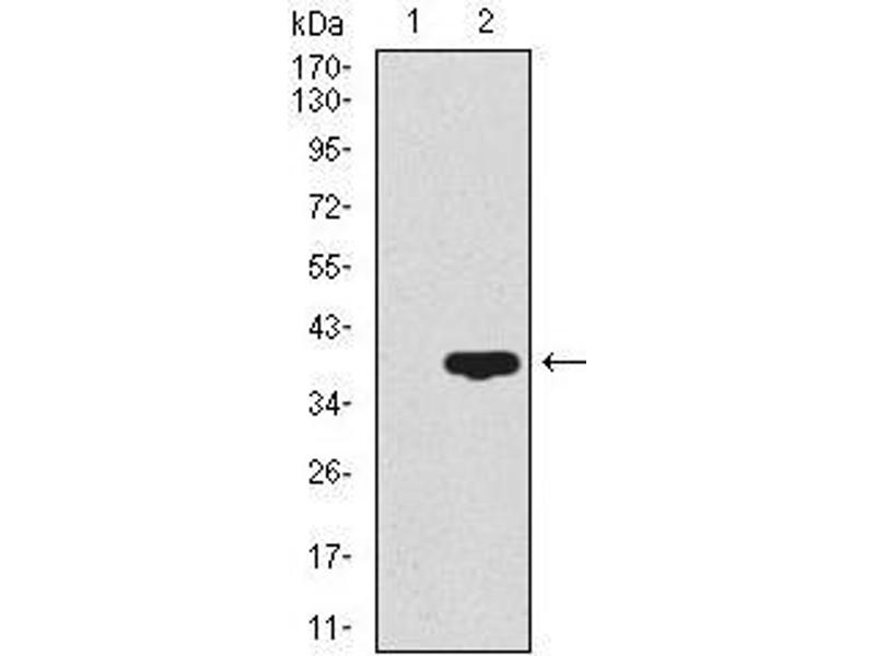 Western Blotting (WB) image for anti-CD59 antibody (CD59) (AA 31-111) (ABIN1098134)