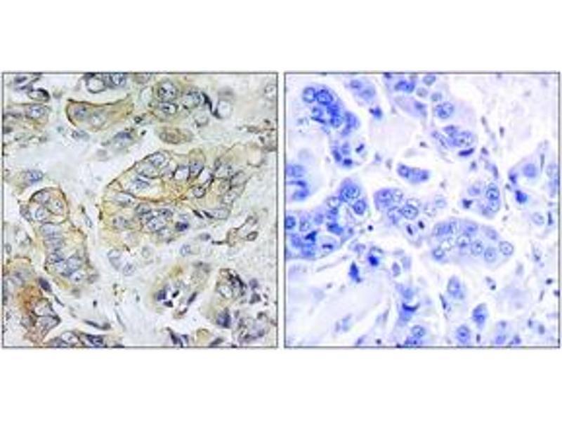 Immunohistochemistry (IHC) image for anti-Neuropeptide Y Receptor Y5 (NPY5R) (AA 221-270) antibody (ABIN1535790)