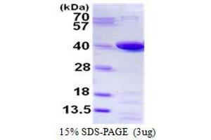 Image no. 1 for Prostaglandin Reductase 1 (PTGR1) protein (His tag) (ABIN1098342)