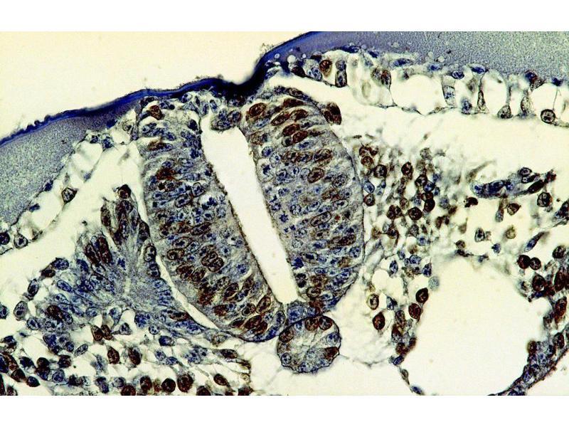 Image no. 2 for anti-Bromodeoxyuridine (BrDU) antibody (ABIN93883)