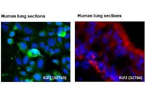 Image no. 8 for anti-Kruppel-Like Factor 2 (Lung) (KLF2) (Middle Region) antibody (ABIN2777573)