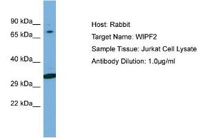 Image no. 1 for anti-WAS/WASL Interacting Protein Family, Member 2 (WIPF2) (C-Term) antibody (ABIN2784984)