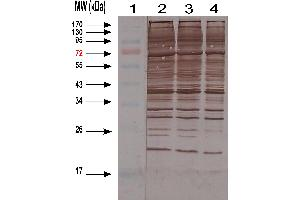 Western Blotting (WB) image for anti-Host Cell Proteins (HCP) antibody (ABIN1113182)