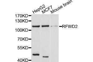 Image no. 1 for anti-Ring Finger and WD Repeat Domain 2, E3 Ubiquitin Protein Ligase (RFWD2) antibody (ABIN5968176)