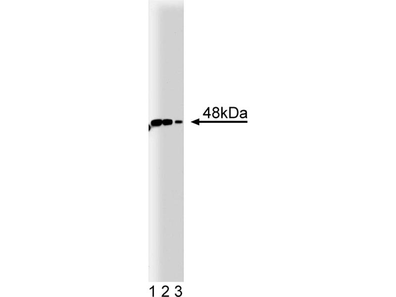 Western Blotting (WB) image for anti-IRF9 antibody (Interferon Regulatory Factor 9) (AA 126-351) (ABIN967883)