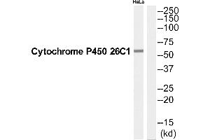 Image no. 1 for anti-Cytochrome P450, Family 26, Subfamily C, Polypeptide 1 (CYP26C1) (C-Term) antibody (ABIN1576001)