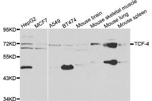 Western Blotting (WB) image for anti-Transcription Factor 4 (TCF4) antibody (ABIN1875039)