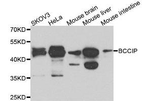 Image no. 2 for anti-BRCA2 and CDKN1A Interacting Protein (BCCIP) antibody (ABIN6137485)