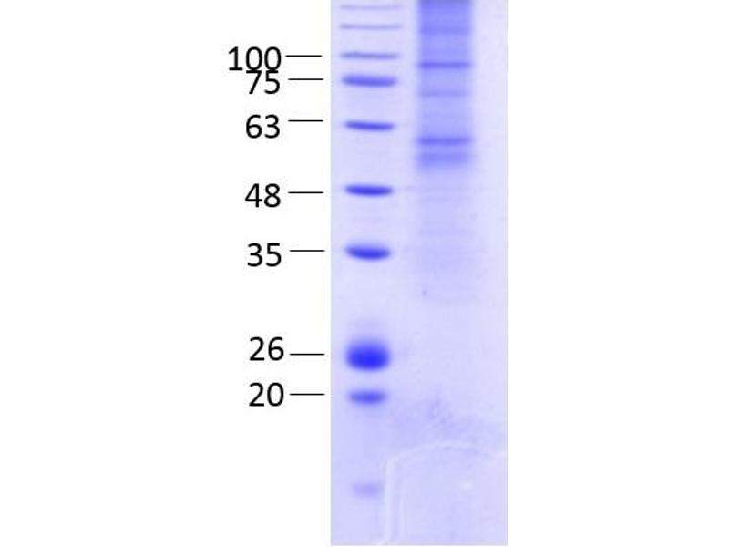 SDS-PAGE (SDS) image for Gap Junction Protein, gamma 2, 47kDa (GJC2) (AA 1-439) protein (rho-1D4 tag) (ABIN3078600)