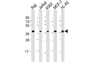 Image no. 1 for anti-Selectin L (SELL) (AA 346-372), (C-Term) antibody (ABIN5531512)