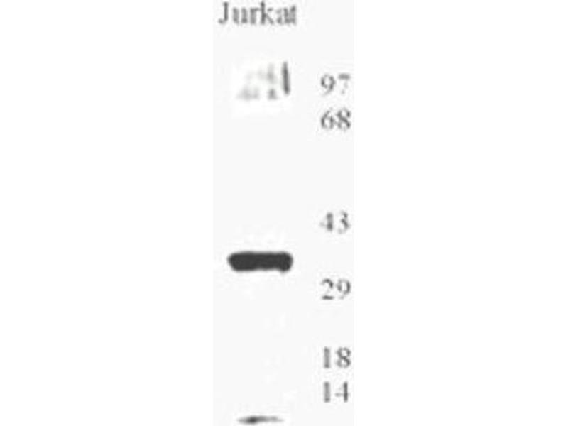 image for anti-8-Oxoguanine DNA Glycosylase (OGG1) (AA 1-100), (N-Term) antibody (ABIN1731391)