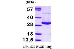 Image no. 1 for RAN, Member RAS Oncogene Family (RAN) (AA 1-216) protein (His tag) (ABIN667788)
