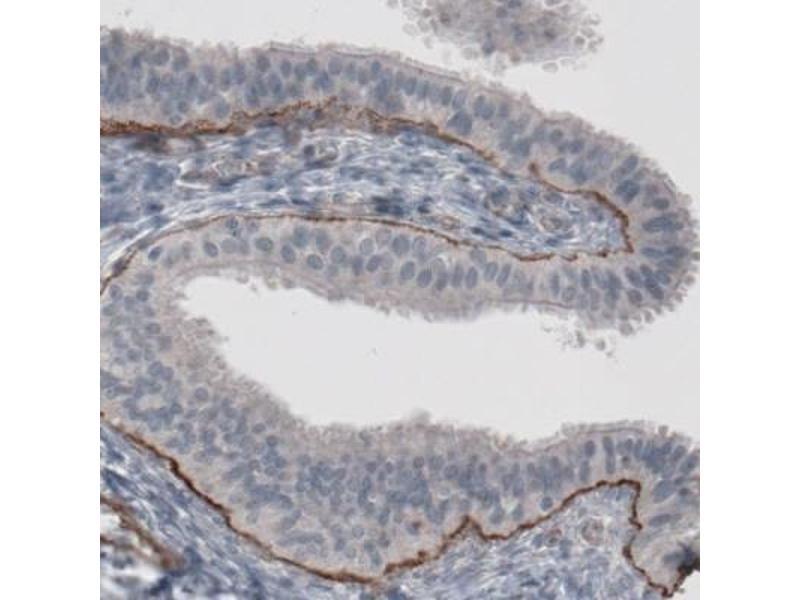 Immunohistochemistry (IHC) image for anti-Laminin, alpha 5 (LAMA5) antibody (ABIN4330115)