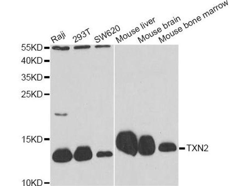 Image no. 4 for anti-Thioredoxin 2 (TXN2) antibody (ABIN6567577)
