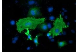 Immunofluorescence (IF) image for anti-SH2B3 antibody (SH2B Adaptor Protein 3) (ABIN2454470)